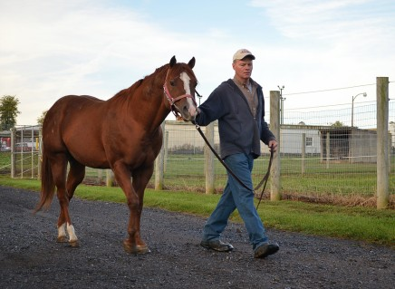 Chris Grant, assistant manager of the Penn State Horse Barns, leads a stallion, on Tuesday, October 7, 2014. Grant has been an employee at the horse barns for 10 years. Photo by Brian Yearick.